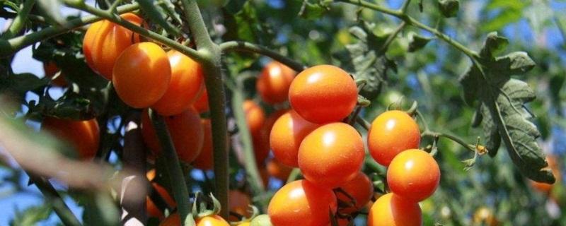 小西红柿栽培方法