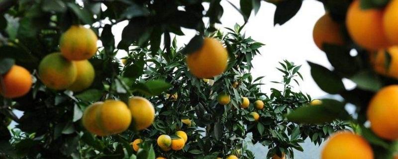 橙子树什么时候下肥料