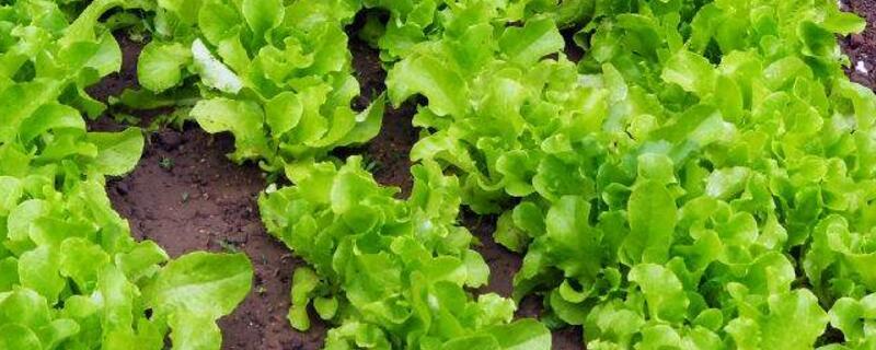 生菜种植time和方法