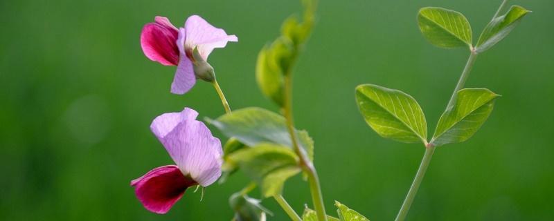 豌豆花花语