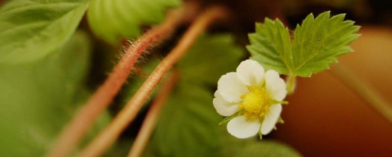 草莓苗能活多久