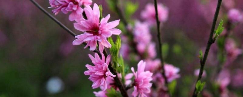 桃花花瓣的形状