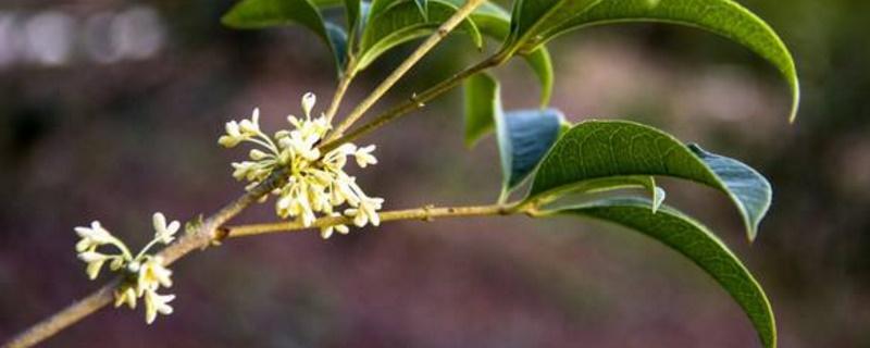桂花树叶子卷曲褶皱