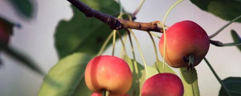 贵人果是什么果树