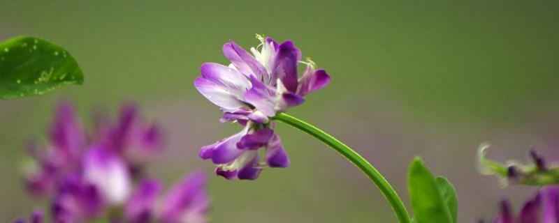 紫云英花语