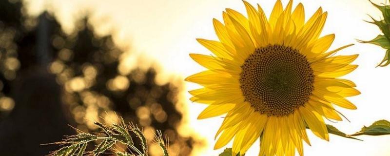 太阳花发芽后老是死苗