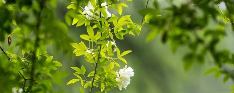 木香花和薔薇花的區別