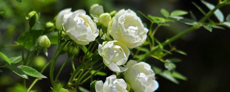 木香花為什么不能種