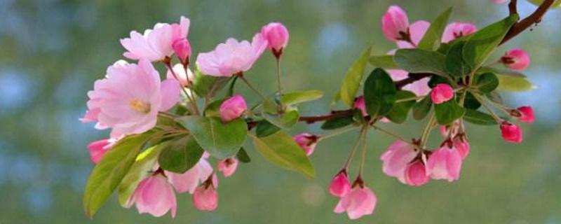 北京海棠花溪开花时间