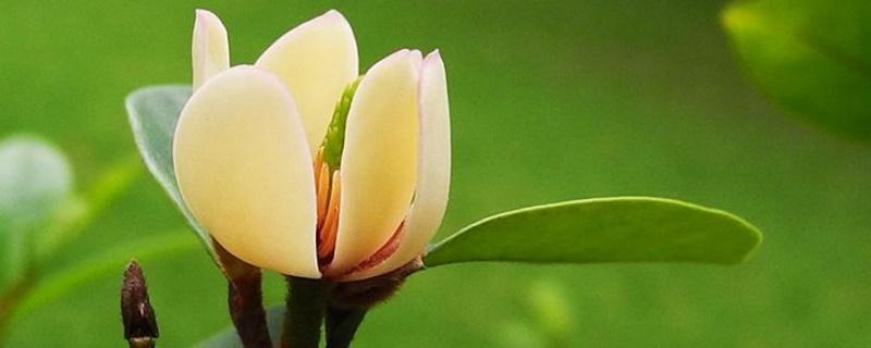 含笑花花语