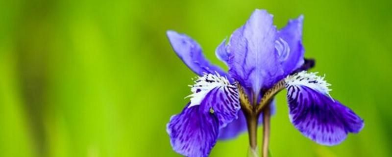 鸾尾花的花语