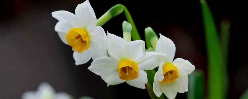水仙花有没有毒