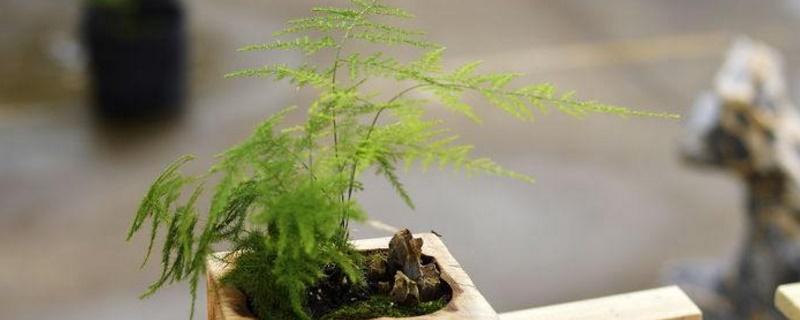 文竹盆景如何造型