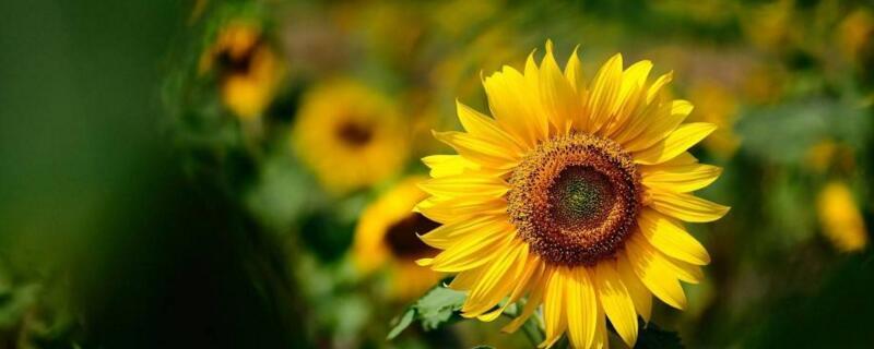 向日葵跟着太阳转怎么转回来