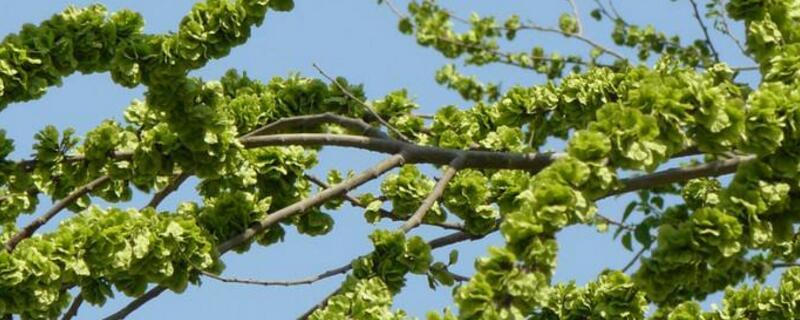 榆树嫁接时间和方法