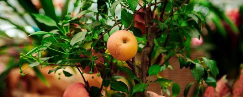 苹果树浇水最佳时间