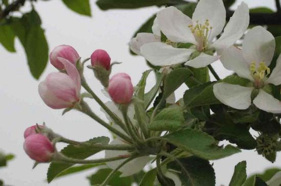 苹果树开花前打什么药