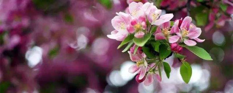 苹果花和海棠花的区别