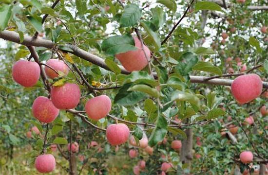 苹果树花露红打什么药
