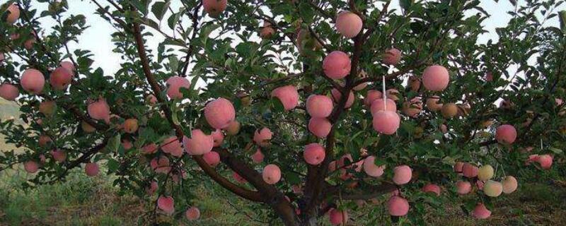 苹果树的特点是什么