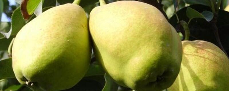 香梨是热性还是凉性