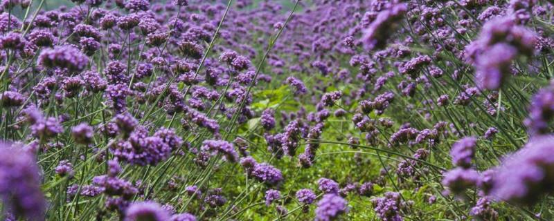紫色马鞭草花