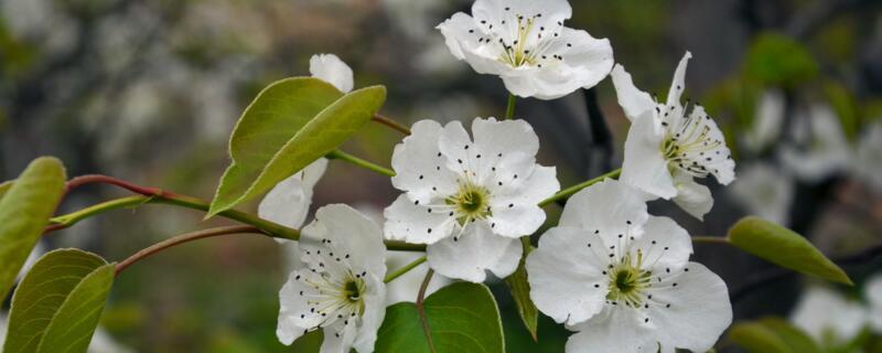 梨树花期打什么药