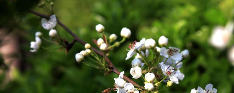 梨花代表什么象征意义