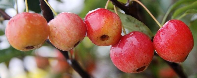 冬红果为什么不能吃