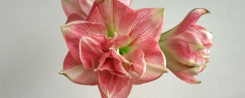 朱顶红重瓣最大花品种