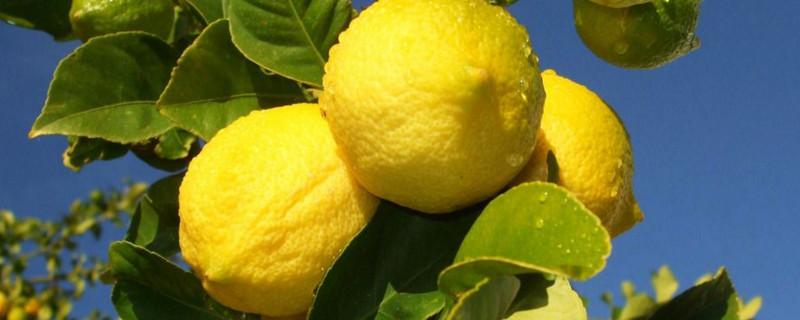 柠檬长在哪里