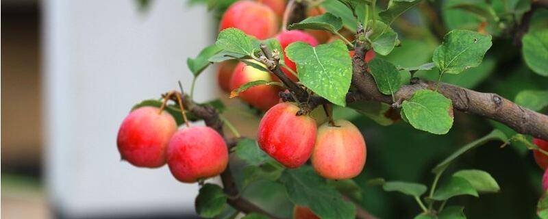冬红果和海棠果树区别