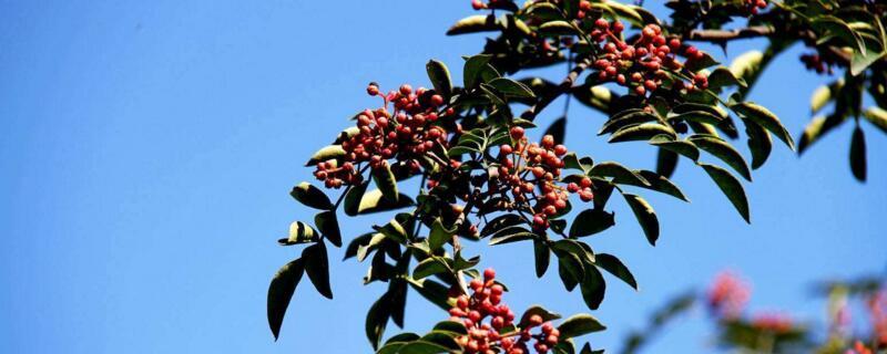 花椒树怎么栽