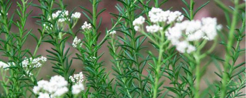 澳洲米花的花语