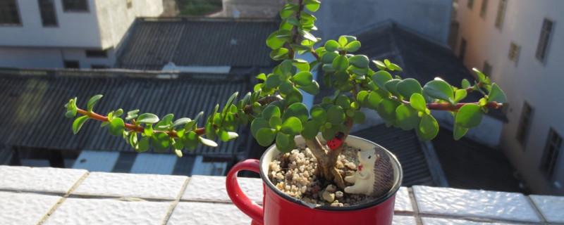 金枝玉叶扦插多久生根