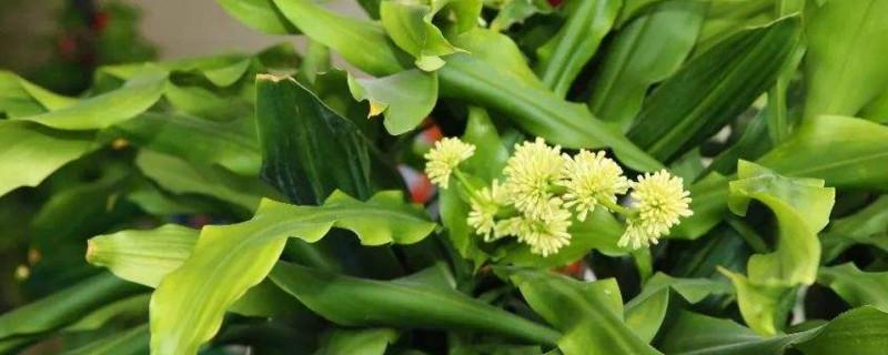 像玉米叶子一样叫什么花