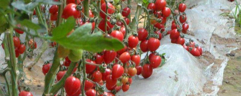 种番茄种子过程