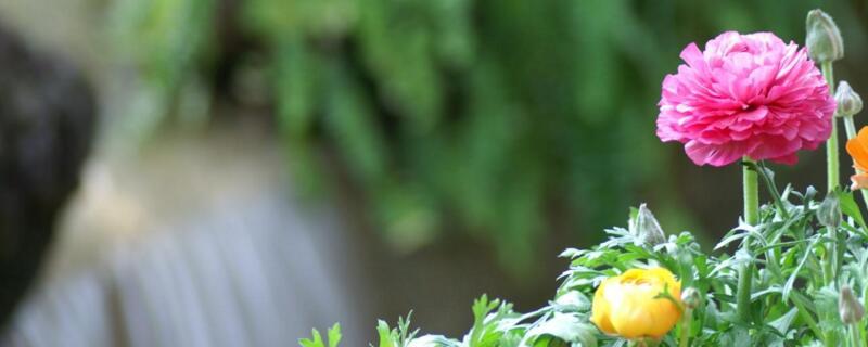 芹菜花怎么养