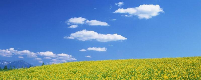 油菜花是油菜开的花吗