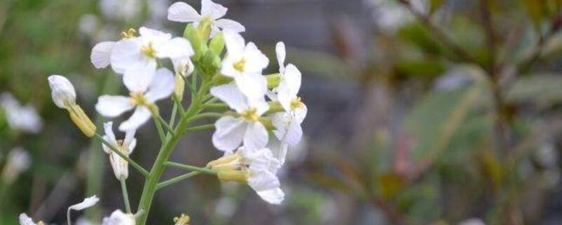 油菜花有白色的吗