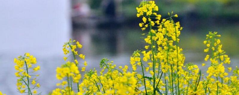 油菜花花蕾的变化顺序