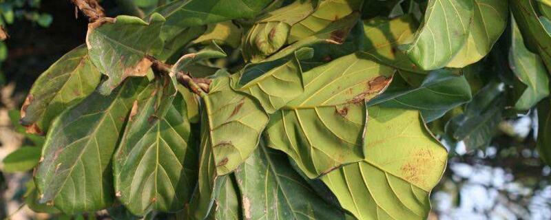 治琴叶榕叶子锈斑的药