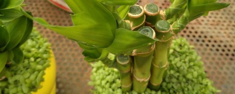 富贵竹没生根叶子黄了