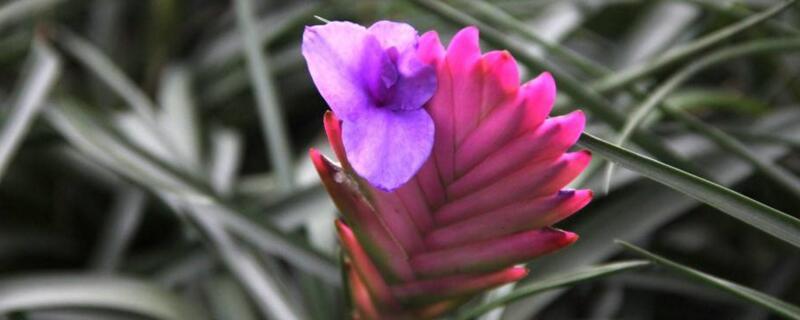 鐵蘭花有毒嗎
