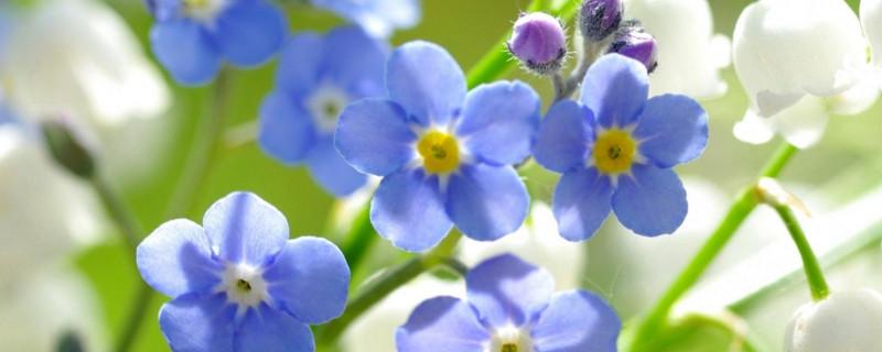 蓝色铃兰花语