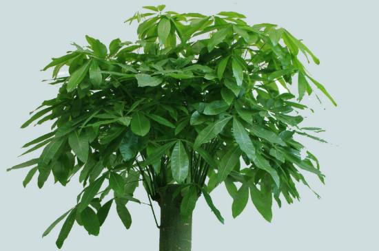 發財樹沒有皮能活嗎