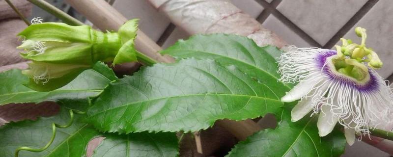 百香果花蕾初期