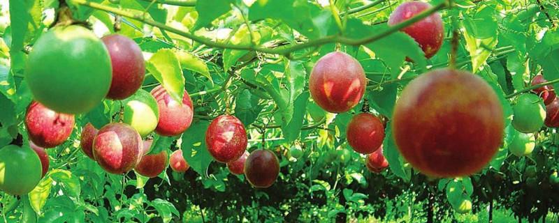 百香果扦插几天发芽