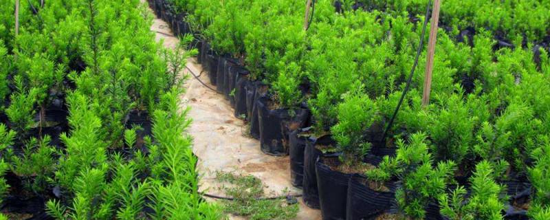 曼地亚红豆杉公母区别