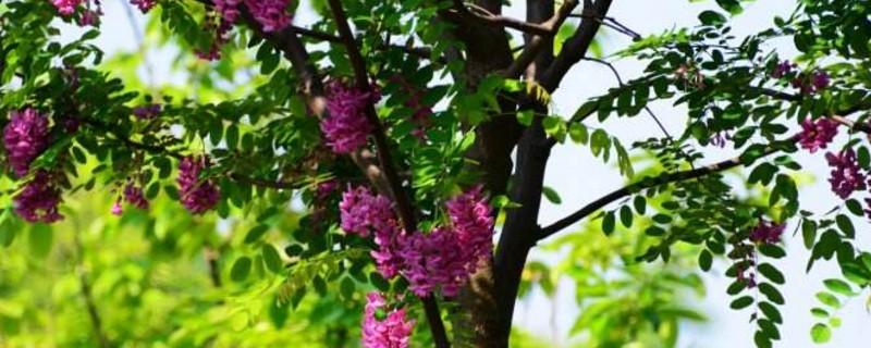 红色的槐树花可以吃吗